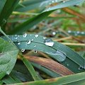 Krople wody niedługo po opadzie deszczu #Krople #Trawa