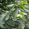 leszczyna #owoc